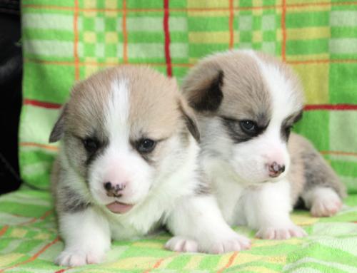 Новые щенки в питомнике